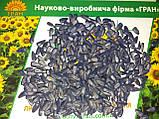 Семена подсолнечника под Гранстар НЕО, Урожайный гибрид, Подсолнечник устойчив к шести расам заразихи, фото 3