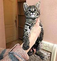 Девочка Bella. Кошечка Саванна Ф1 (Ашера) питомник Royal Cats