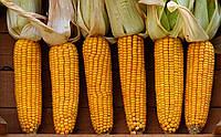 Семена кукурузы Подильский 274 СВ