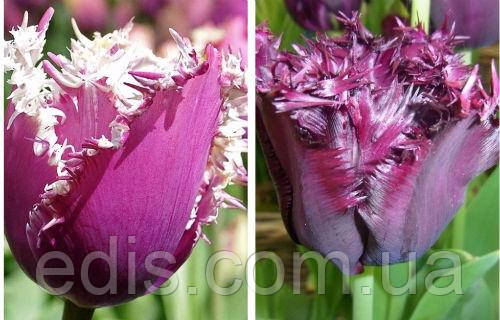 Фиолетовые тюльпаны Интернет-магазин Эдис