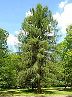 Лиственница, 1,5-1,7 метра