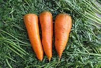 СКАРЛА / SCARLA - морковь, Clause 0,5 кг семян