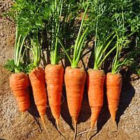 ШАНТАНЕ РЕД КОРЕД / SHANTANE RED KORED - морковь, Vilmorin 100 000 семян