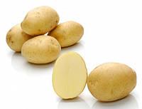 Минерва, семенной картофель 5 кг
