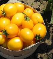 ГОЛДЕН СТАР F1 / GOLDEN STAR F1 — томат детерминантный,  Erste Zaden 200 семян