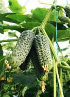ТУМИ F1 / TUMI F1 — огурец партенокарпический, Enza Zaden 500 семян