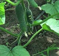 ЛЮТОЯР F1 / LUTOYAR F1 — огурец партенокарпический, Yuksel Seeds 500 семян
