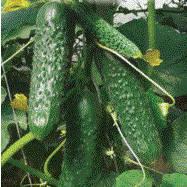 СПИННО F1 / SPINNO F1 — огурец партенокарпический, Syngenta 500 семян