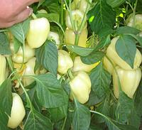 БЛАНЧИНА F1 / BLANCHINA F1 - перец сладкий, Enza Zaden 500 семян