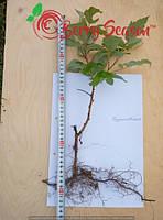 Побеги садовой ремонтантной малины Брусиловская открытая корневая система
