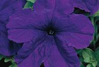 Петуния крупноцветковая Eagle Blue F1, Sakata 1 000 семян