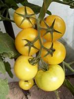 ГУАЛЬДИНО F1 / GUALDINO F1 — томат индетерминантный, Enza Zaden 500 семян