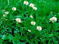 КЛЕВЕР БЕЛЫЙ (декоративный) - газоннаяя травосмесь, DLF Trifolium 1 кг
