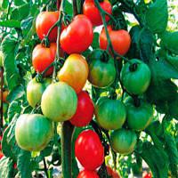 ТОРО F1 / TORO F1  — томат индетерминантный, SEMO 100 семян