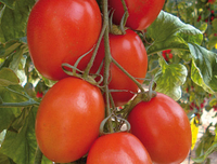 КОРЛЕОНЕ F1 / KORLEONE F1 – томат индетерминантный, Enza Zaden 500 семян