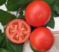ДАНТИНА F1 / DANTINA F1 — томат индетерминантный, Syngenta 500 семян