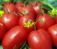1509 F1 — томат детерминантный, Lark Seeds 500 семян