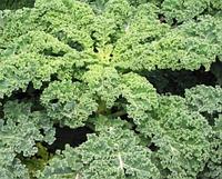 КАЛЕ / KALE — капуста листовая, Hortus 100 грамм