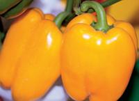 КУНЕО ЕЛЛОУ / KUNEO YELLOW — перец сладкий, Hortus 10 грамм