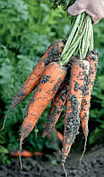 ТРАФОРД F1 / TRAFFORD F1 - морковь, Rijk Zwaan 25 000 калиброванных семян 1,4-1,6