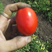 ИНКРИЗ F1 / INKRIZ F1 — томат детерминантный, Esasem  25000 семян