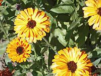 Семена цветов Календула красная махровая