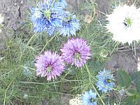 Семена цветов Нигелла(чернушка посевная)
