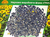 Семена подсолнечника под Гранстар ТОЛЕДО, Сумо. Устойчив к засухе и заразихе A-F. Экстра