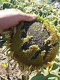 Подсолнух под гранстар ТОЛЕДО. Купить семена под гербицид Экспресс. Урожайный гибрид.  Экстра, фото 2