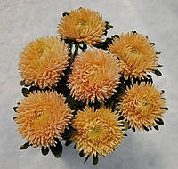 Семена Астра хризантемовидная Сиринга оранжевая 1 грамм Satimex