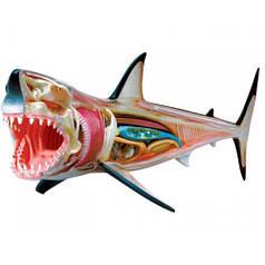 Анатомическая модель Большая белая акула, 4D Master