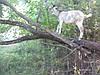 Самый свежий и целебный козий лой -жир