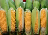 Семена кукурузы «Новый», ФАО 330