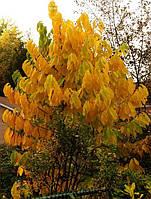 """Осенние краски сорт """"Пролифик"""""""
