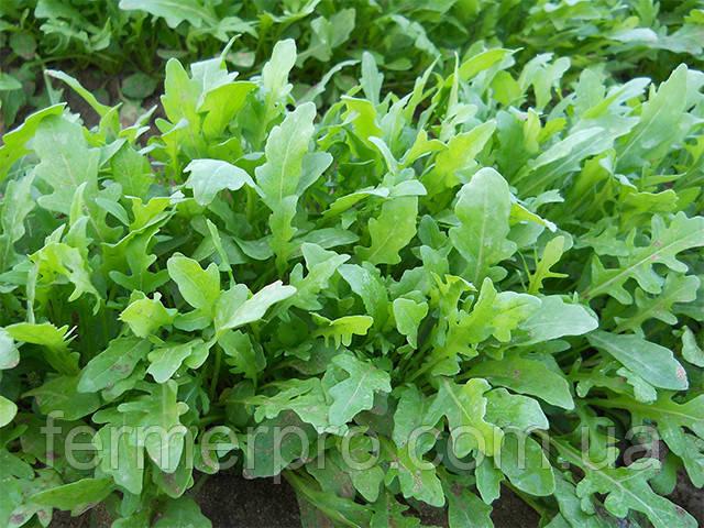 Семена рукколы Грация \ Grazia 1.000.000 семян Enza Zaden