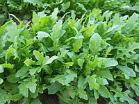 Семена рукколы Грация \ Grazia 100.000 семян Enza Zaden