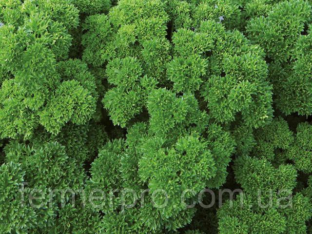 Семена перутрушки кудрявой Вега \ Vega 500 грамм Enza Zaden