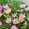 Тюльпан ботанический Lilac Wonder (Лайлек Уандер) 5 шт./уп.