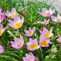 Тюльпан ботанический Lilac Wonder (Лайлек Уандер) 5 шт./уп., фото 1