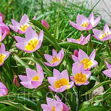 Тюльпан ботанічний Lilac Wonder (Лайлек Уандер) 5 шт./уп.