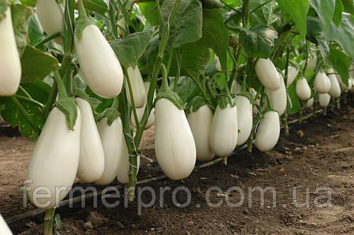 Семена Баклажана  Бибо F1 \ Bibo F1 1000 семян Seminis