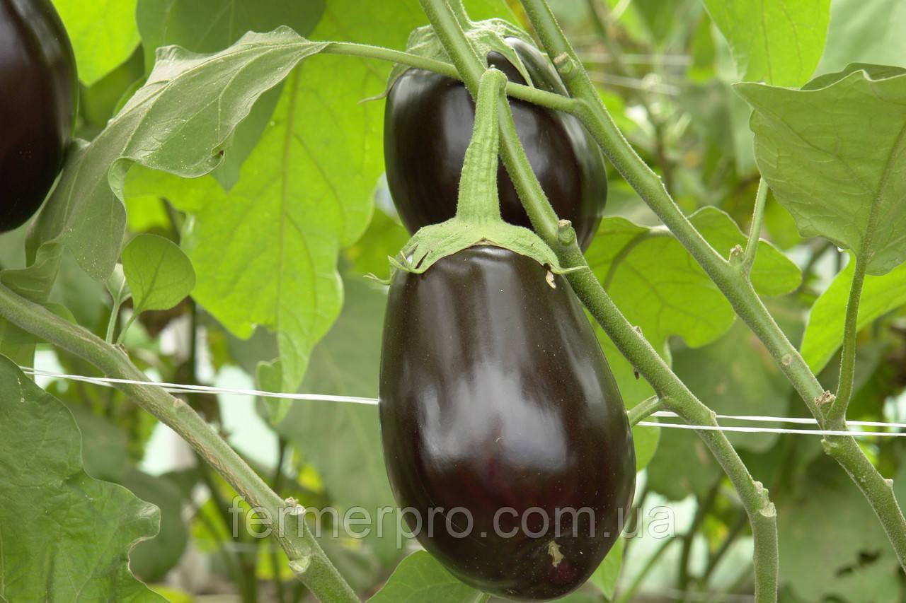 Семена баклажана Клоринда F1 \ Clorinda F1 1000 семян Seminis