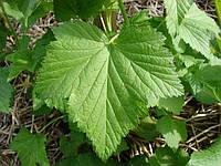 Лист черной смородины 50 грамм