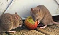 Дератизация. Уничтожение крыс и мышей