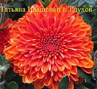 Хризантема РАННЯЯ мультифлора КОБРА , фото 1