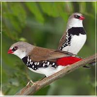 Экзотические птицы - (Вьюрковые ткачики, или астрильдовые)