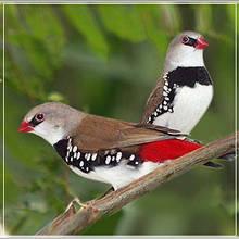 Екзотичні птахи - (Вьюрковые ткачики, або астрильдовые)