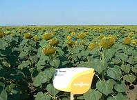 Семена подсолнечника НК Неома (Syngenta) 2016 г.у. импорт