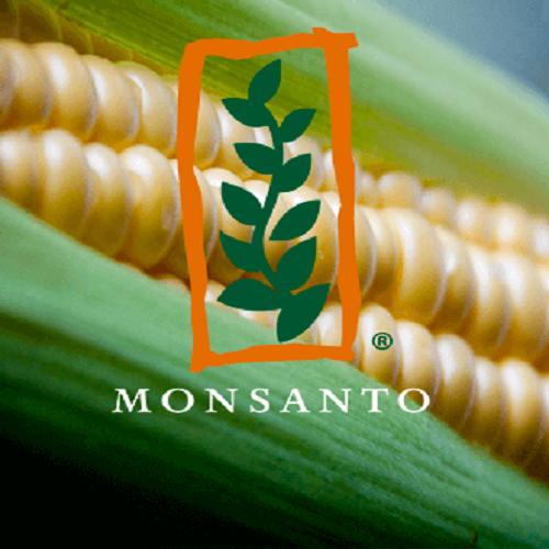 Гибрид кукурузы DKC3969 Monsanto