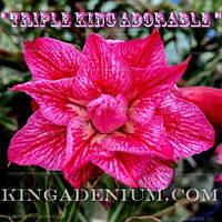 Адениум семена Triple king Adorable